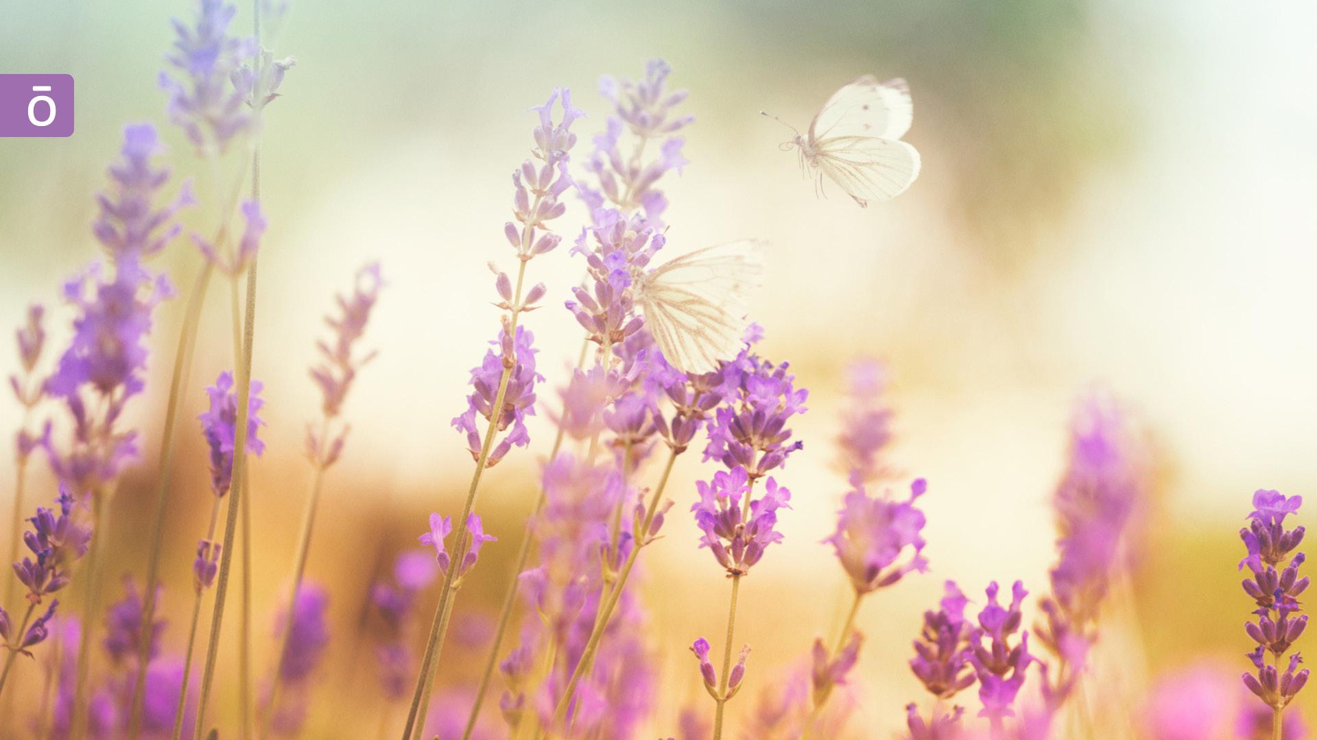 蝴蝶戀上盛開的薰衣草