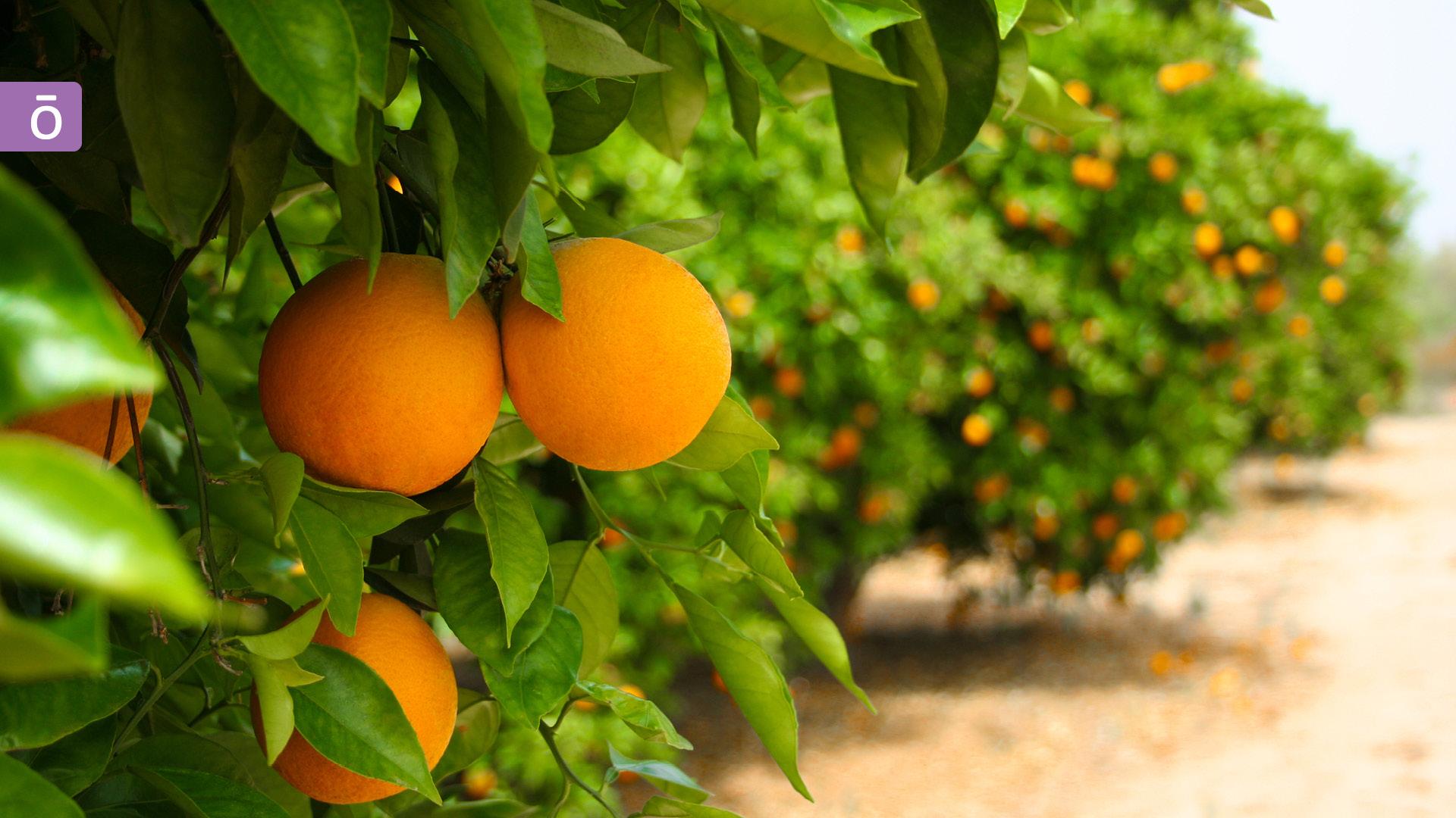 漫步在美好的橘子園