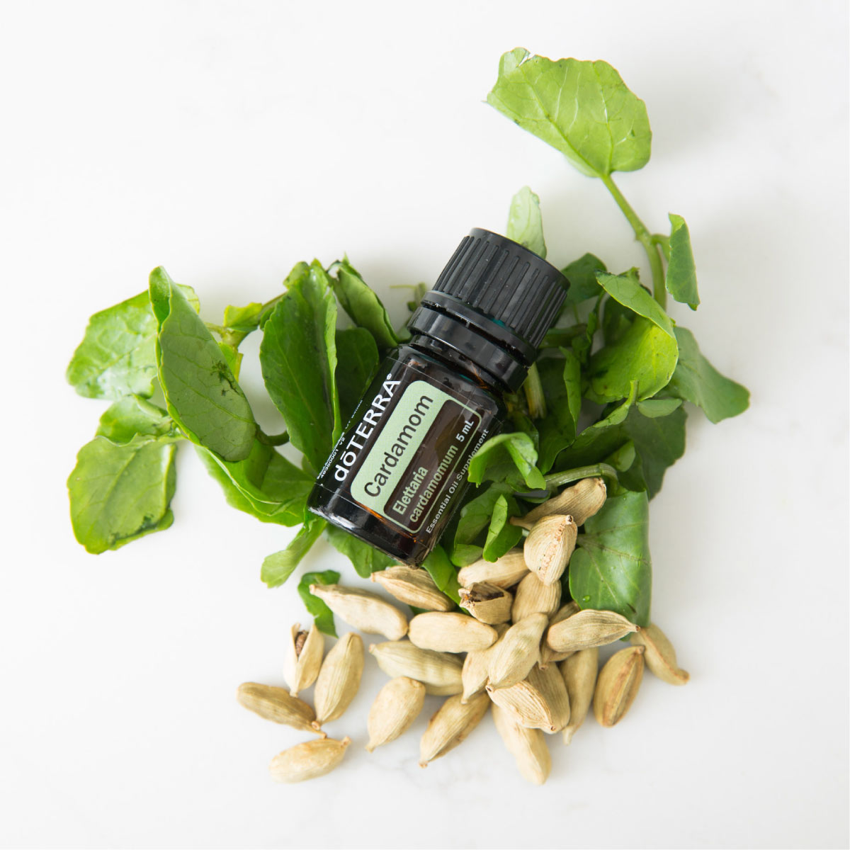Bottle of Cardamom essential oil with green leaves and fresh cardamom seeds. Cardamom oil has many benefits and uses. Try using Cardamom essential oil to add flavor when cooking, to promote feelings of easy breathing, or to aid in digestion.