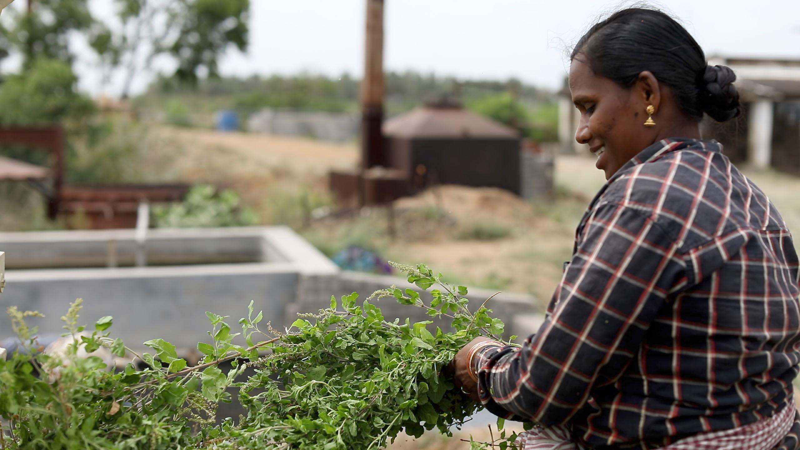 Woman harvesting Peppermint