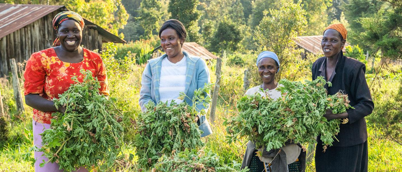 Kenya women harvesting geranium to use as a source for doTERRA Geranium essential oil