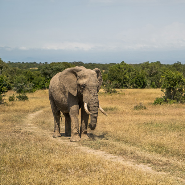 Kenya sourcing trip elephant in nature