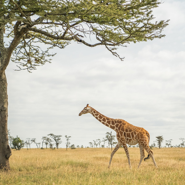Kenya sourcing trip giraffe in nature