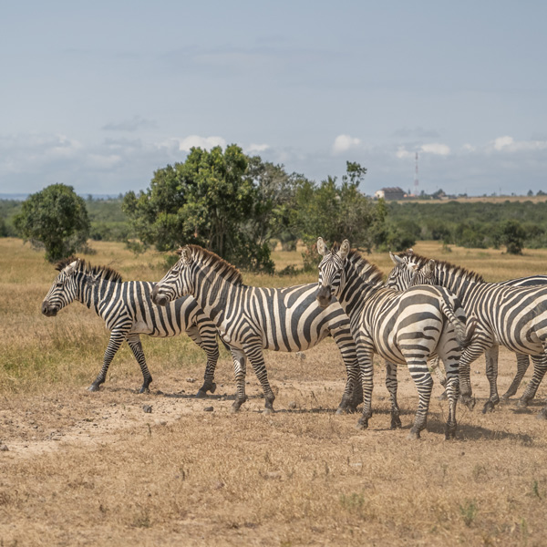 Kenya sourcing trip zebra in nature