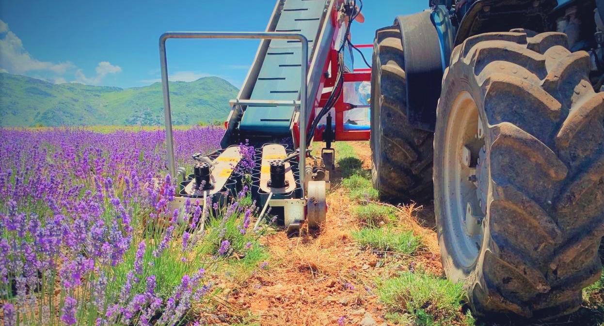 Albania Lavender Farm